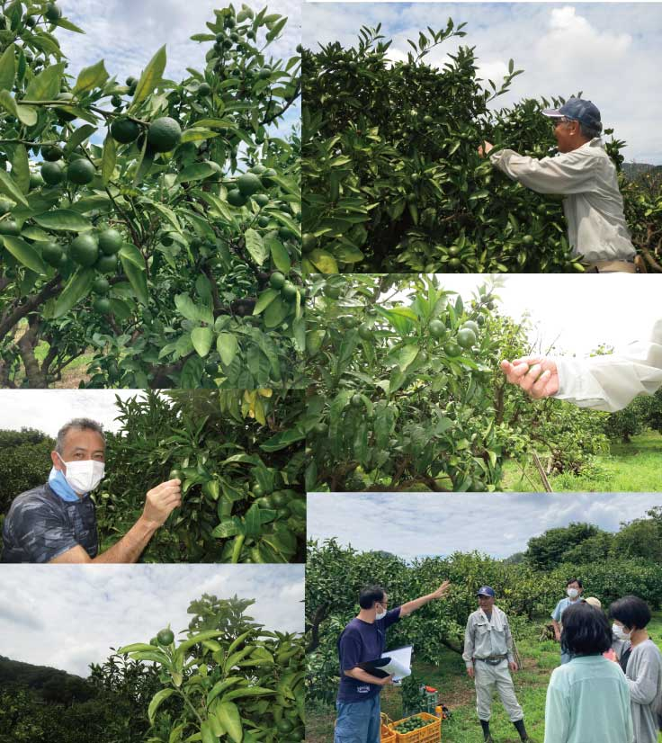 クラフトビールに使う摘果みかんの収穫作業をお手伝い
